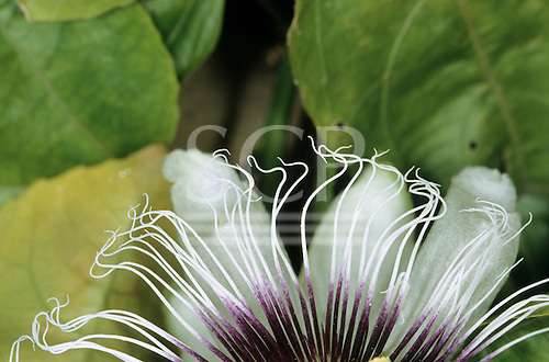 Sao Vicente, Brazil. Passion flower (Passiflora caerulea). Close-up of the flower parts; white and purple.