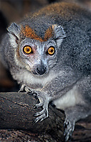 653933011 a captive zoo animal crowned lemur lemur coronatus sits on a log in a zoo enclosure - species is highly endangered and native to madagascar