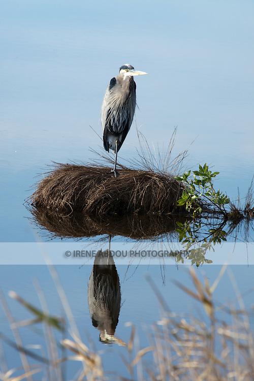 Great blue heron at the Chincoteague National Wildlife Refuge on Assateague Island, Virginia.