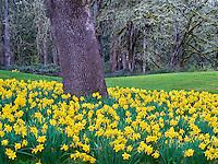 Daffodils under oak tree. Oregon Gardens. Oregon