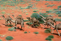 Wild Camels in the Simpson Desert Northern Territory Australia