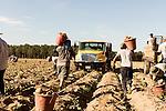 NC Sweet Potato Harvest