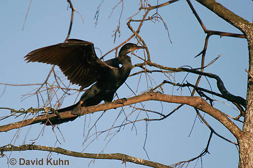 0111-0979  Double-crested Cormorant Spreading Wings in Tree, Phalacrocorax auritus  © David Kuhn/Dwight Kuhn Photography
