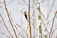 Male Downy Woodpecker (Dryobates pubescens) on snow covered tree.  Pacific Northwest.  Winter.