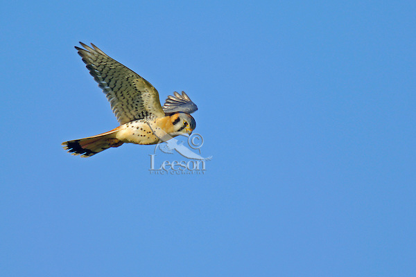 American Kestrel (Falco sparverius) hovering while hunting.   Pacific Northwest.