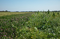 Clover field margin close to  cover  crop with mixed wild flowers - Lincolnshire, September
