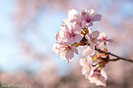 Sargent Cherry blossoms at the Arnold Arboretum in Jamaica Plain, Boston, Massachusetts, USA
