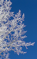 Ice forms on trees during Yellowstone's cold winters.