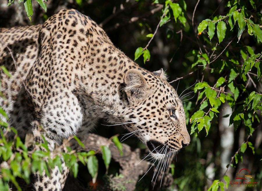 This Leopard (Panthera pardus) hid deep in the bushes for over an hour, before emerging into the open, Masai Mara