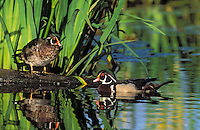 Wood Duck drakes surrounded by yellow iris reeds..Spring. British Columbia, Canada..(Aix sponsa).