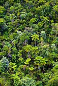 Chaine centrale - Fougères arborescentes