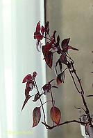 HS28-001c  Phototropism - house plant leaning towards light