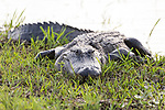 Damon, Texas; a large, adult American alligator warming itself on the bank of the slough in late afternoon light