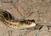 "1211-07nn  Eastern Garter Snake - Thamnophis sirtalis ""Mount Rogers in Virginia"" - © David Kuhn/Dwight Kuhn Photography"