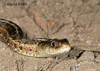 "1211-07nn  Eastern Garter Snake - Thamnophis sirtalis ""Mount Rogers in Virginia"" - © David Kuhn/Dwight Kuhn Photography"