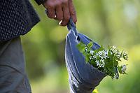 Knoblauchsrauke-Ernte, Kräuterernte, Kräuter sammeln, geerntete Knoblauchsrauke wird schonend in einem Tuch transportiert, Knoblauchsrauke, Gewöhnliche Knoblauchsrauke, Knoblauchrauke, Knoblauch-Rauke, Knoblauchs-Rauke, Lauchkraut, Knoblauchskraut, Knoblauchhederich, Knoblauchshederich, Alliaria petiolata, Hedge Garlic, Jack-by-the-Hedge, Garlic Mustard, garlic root, Alliaire, L'Alliaire officinale, Herbe à ail