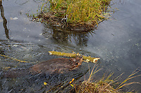 North American Beaver (Castor canadensis) transporting branches (for winter food) back to lodge area.  British Columbia, Canada.  Fall.  In late summer/fall beavers cut down many bushes and trees and haul them back to their lodge area to store for winter food--once the pond freezes.