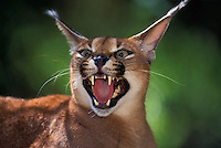CARACAL..Africa, Arabia, Middle East to Pakistan. .(Felis caracal).