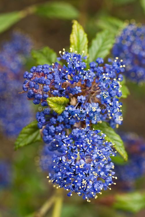 Ceanothus 'Concha' closeup of blue flower cluster