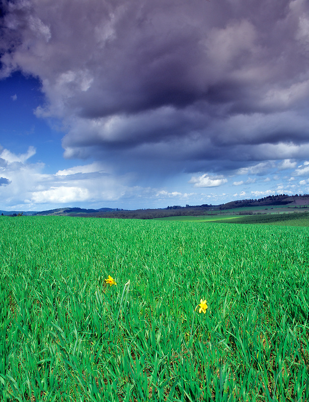 Daffodils, grass, and thunderstorm. Near Alpine, Oregon.