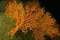 Orange gorgonian sea fan, Leptogorgia sarmentosa, Bay of Morlaix, off Carantec, North of Brittany, North of France, Atlantic Ocean, Europe
