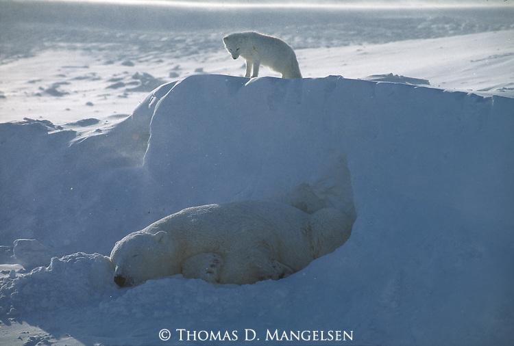 An arctic fox stands on a snowdrift above a sleeping polar bear at Hudson Bay in Manitoba, Canada.
