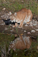 Siberian Lynx and its reflection looking up at the edge of a pond - CA