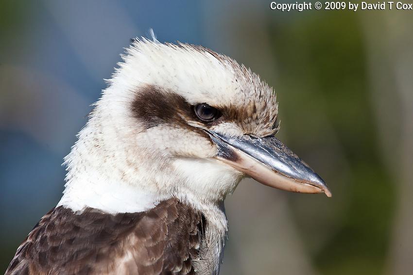 Laughing Kookaburra, Eungella NP, Queensland, Australia