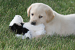 Yellow Labrador retriever (AKC) puppy holding a stuffed animal