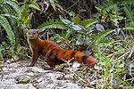 Eastern Ring-tailed Vontsira (formerly Ring-tailed Mongoose)(Galidia elegans elegans) (endemic family Eupleridae) foraging on forest floor. Marojejy National Park, north east Madagascar.