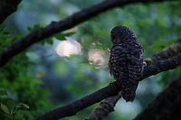 Adult Barred Owl (Strix varia) hunting at dusk. King County, Washington. May.