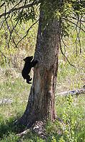 A small black bear cub follows its sibling up a tree.
