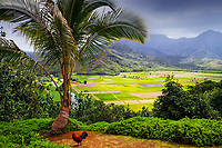 Taro Fields view above the beautiful Hanalei Valley under a cloudy sky, with a cock and a palm tree in the foreground, on Kauai Island, Hawaii