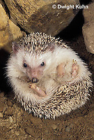 MA42-026z   African Pygmy Hedgehog - unrolling from protective ball - Atelerix albiventris