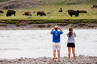 People look at a large herd of bison with calves across the Lamar River in the Lamar Valley, Yellowstone National Park, Wyoming, USA. Bison number about 5,500 in Yellowstone as of August 2016, according to the National Park Service. They are descended from a small group of 23 individuals that survived mass killings of bison in the 1800s.