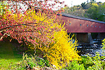 Flowering Forsythia at the West Cornwall Covered Bridge