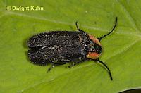 1C39-503z  Soldier Beetle, Look alike Firefly, Rhaxonycha carolinus