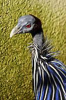 Vulturine Guineafowl (Acryllium vulturinum)