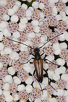 Kleiner Schmalbock, Gemeiner Schmalbock, Schwarzschwänziger Schmalbock, Männchen, Blütenbesuch, Stenurella melanura, Strangalia melanura