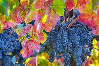 Cloeup of fall colored grapes. Napa Valley, California