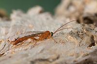 Schlupfwespe, Männchen, Netelia spec., Ichneumon wasp, male