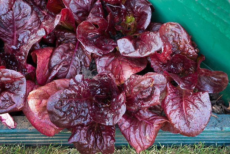 Lettuce 'Nymans' in raised bed, cos romaine red lettuce salad greens growing
