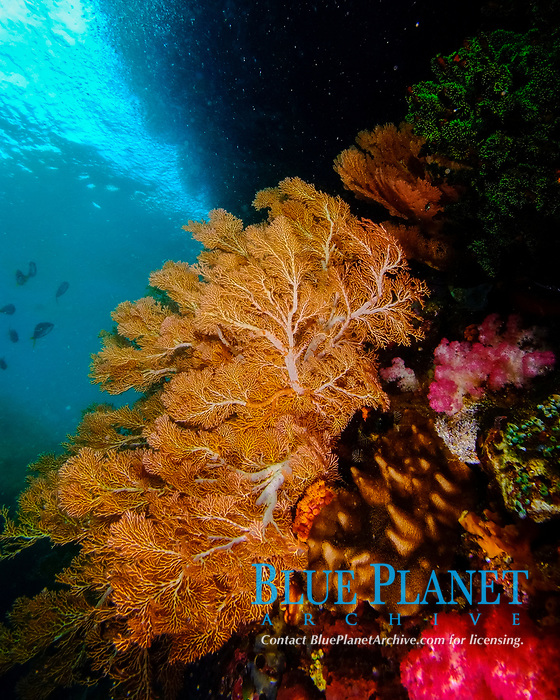Orange sea fan under the ledge formed by erosion of a limestone island, Raja Ampat, West Papua, Indonesia