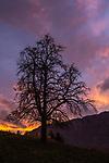 Tree-silhouette, Mauren, Rheintal, Rhine-valley, Liechtenstein.