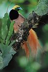 Raggiana Bird-of-Paradise, Mount Amungwiwa, Papua New Guinea