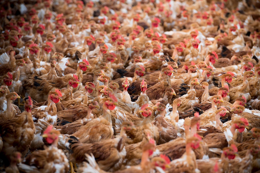 4/06/19 - CUSSET - ALLIER - FRANCE - Elevage de poulets Label de Nicolas DEBOUT - Photo Jerome CHABANNE
