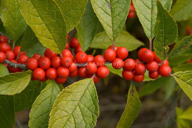 Ilex verticillata with berries
