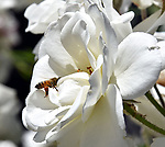 With Bees