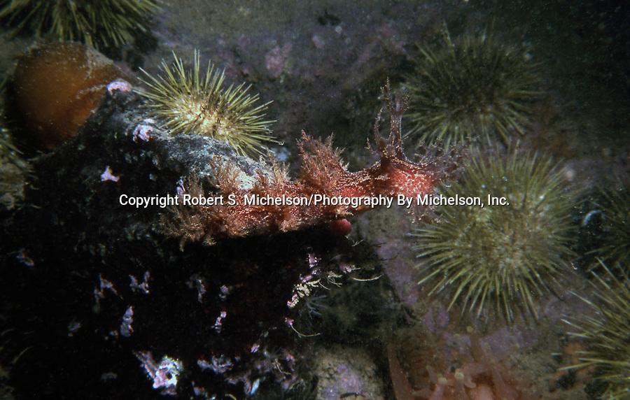 Bushy backed sea slug