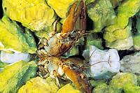freshwater shrimp, Austropotamobius pallipes italicus, Comino Lake, Friuli, Italy